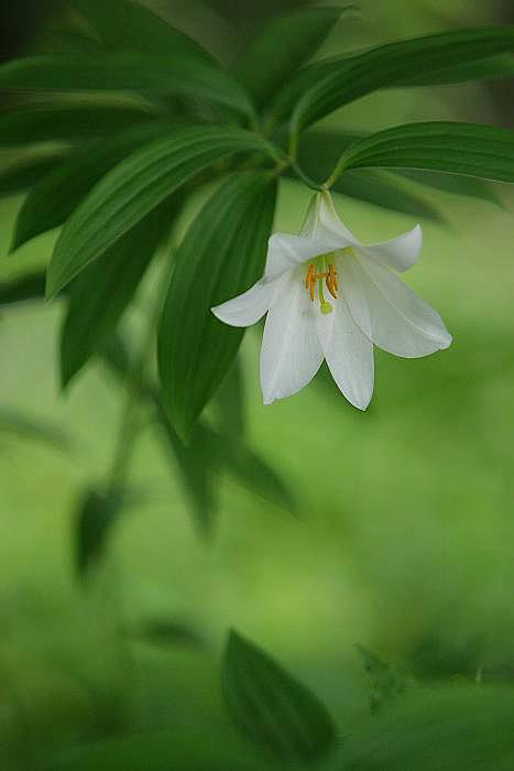 白花のヒメサユリ_c0077395_21522996.jpg