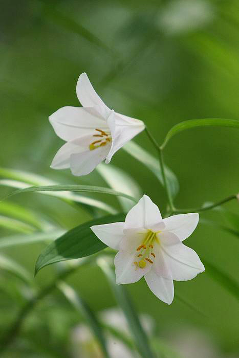 白花のヒメサユリ_c0077395_21533059.jpg