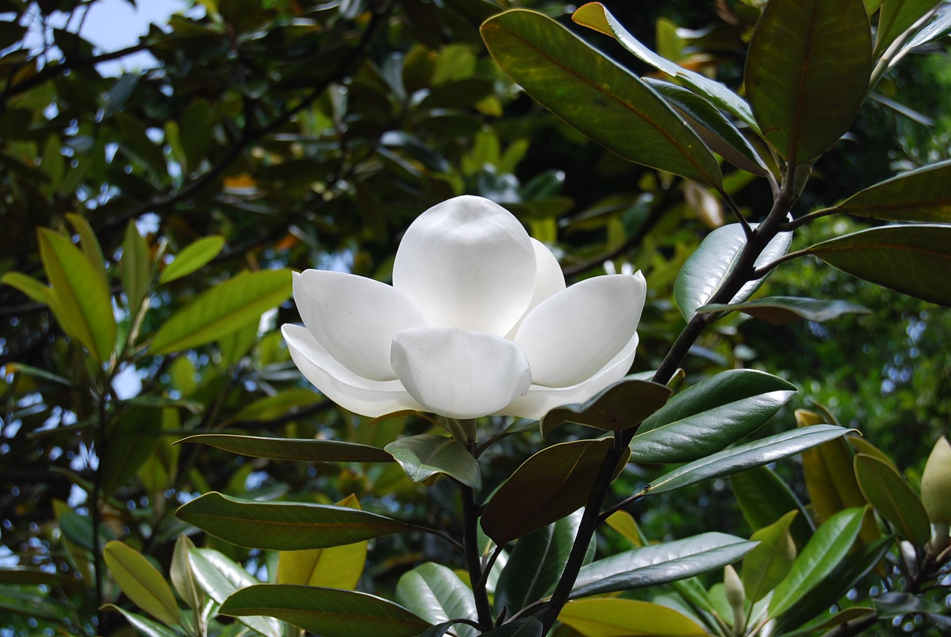 タイザンボクの花_e0142956_012696.jpg