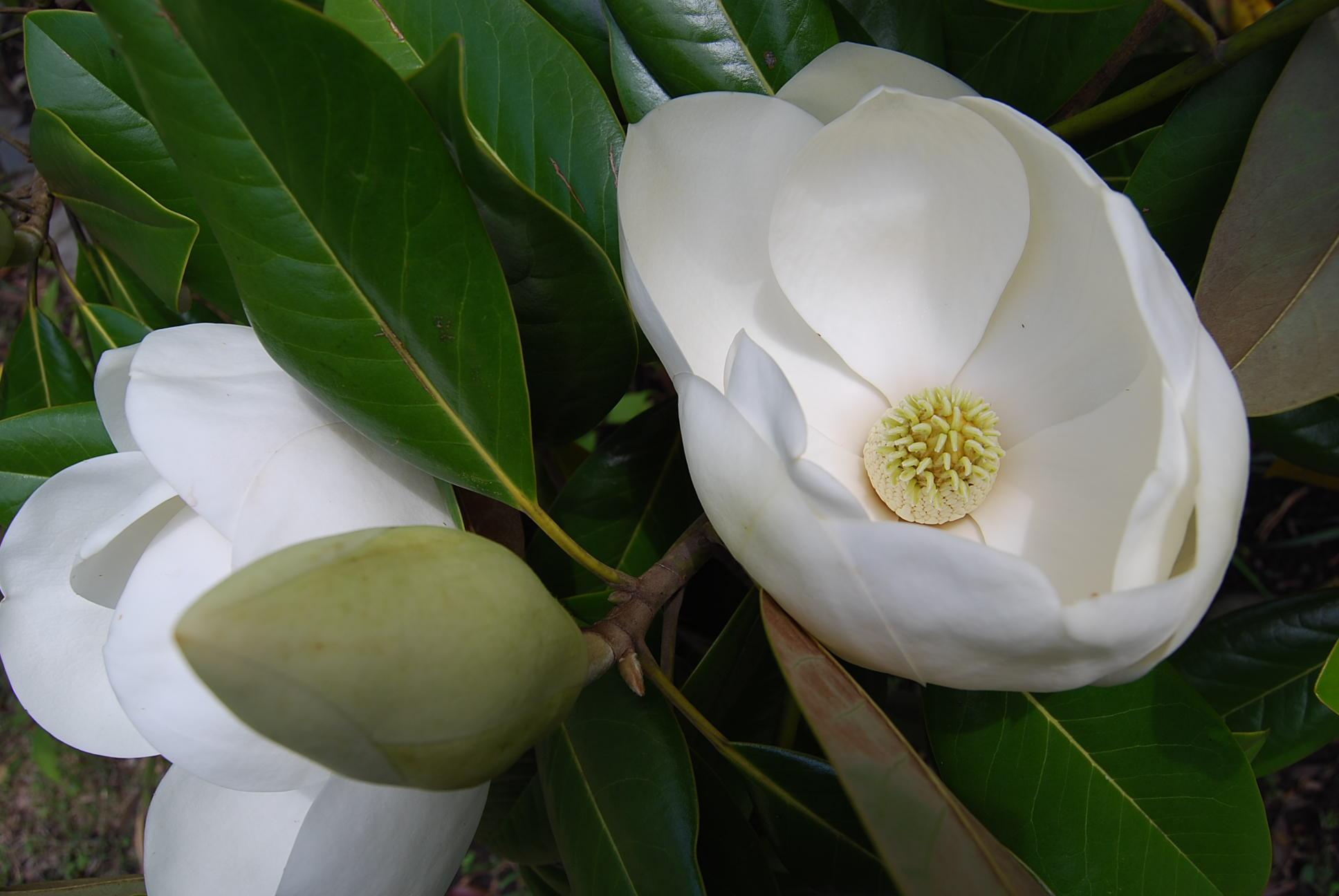 タイザンボクの花_e0142956_056474.jpg