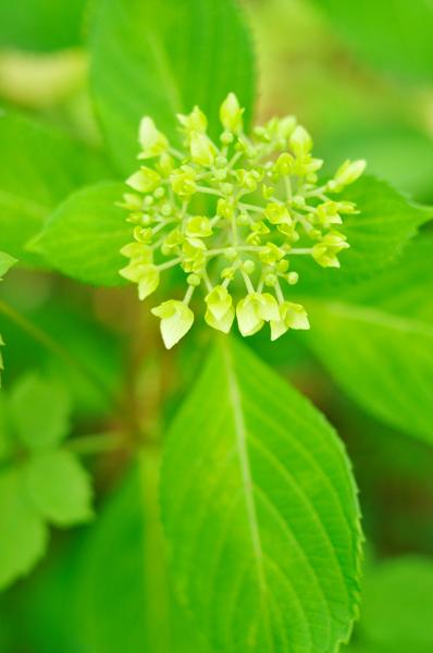 紫陽花にははやしバラにはおそき水無月の日_a0003650_23295054.jpg