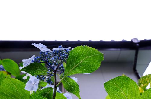 紫陽花。_b0133890_11381272.jpg