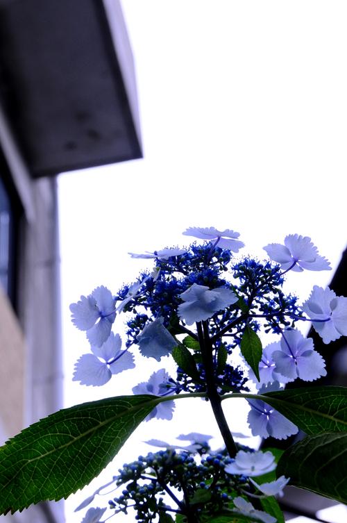 紫陽花。_b0133890_1213333.jpg