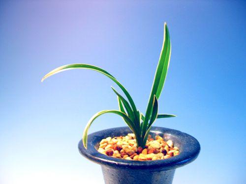 ◆中国春蘭「緑雲覆輪」(実生)           No.70_f0178953_16443845.jpg