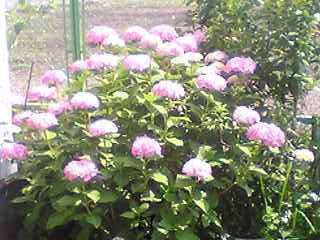 紫陽花。。。_a0059484_14291581.jpg