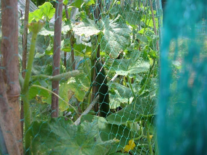 梅雨の晴れ間、トマト、ピーマン、ジャガイモなどを初収穫_c0014967_0333553.jpg