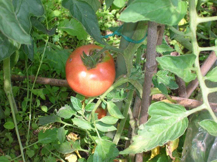 梅雨の晴れ間、トマト、ピーマン、ジャガイモなどを初収穫_c0014967_03402.jpg
