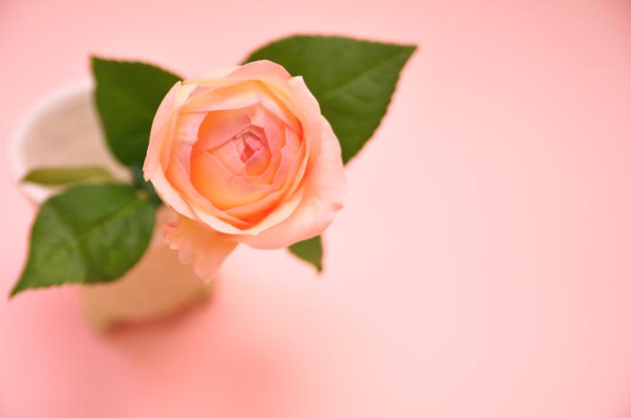 バラ アンジェリークロマンチカ