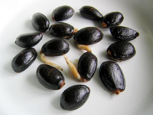 マウイ島産 巨大チェリモヤの種子