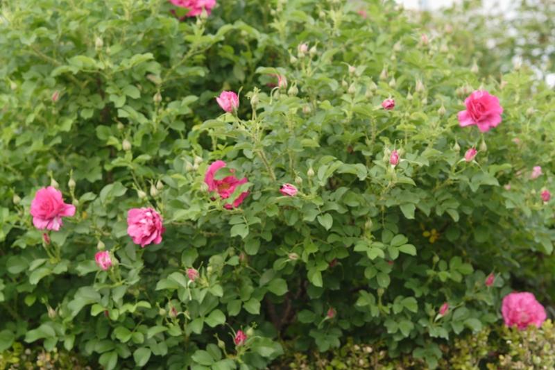 ばらの開花までもう少し_f0091207_22343188.jpg