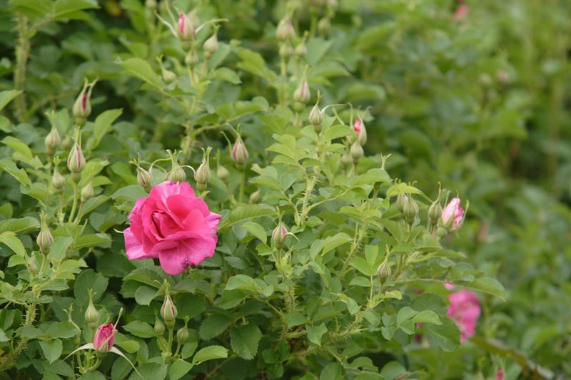 ばらの開花までもう少し_f0091207_2273938.jpg