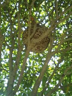 久々の大物の蜂の巣・・・_f0031037_1926245.jpg