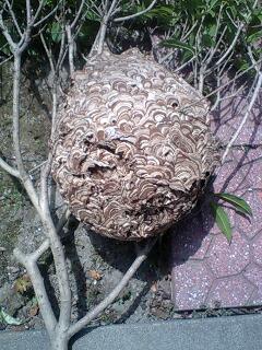 久々の大物の蜂の巣・・・_f0031037_19262864.jpg