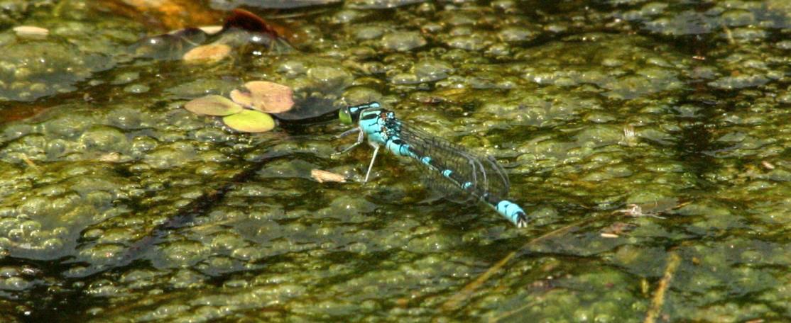水面をはう様に飛ぶオオイトトンボ_a0107574_1713051.jpg