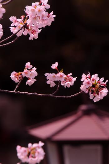 桜。_b0133890_2346646.jpg