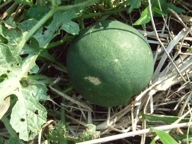 野菜畑(実のなる野菜)_b0137932_20461088.jpg