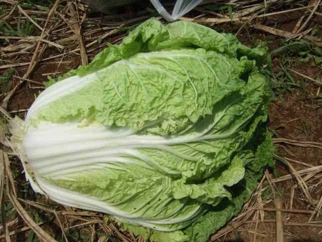野菜畑(実のなる野菜)_b0137932_20465439.jpg