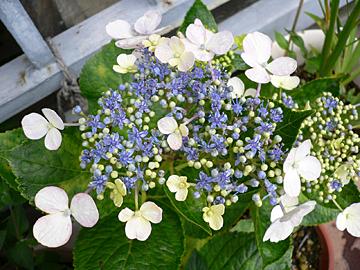 紫陽花たち_c0069048_11234999.jpg