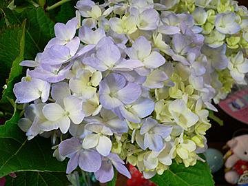 紫陽花たち_c0069048_1125431.jpg