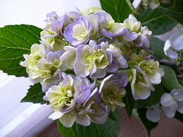 紫陽花たち_c0069048_11261988.jpg