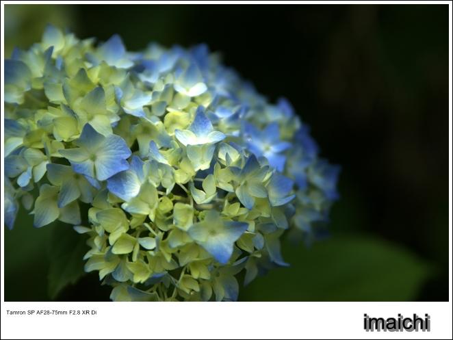 紫陽花_c0054876_1753272.jpg
