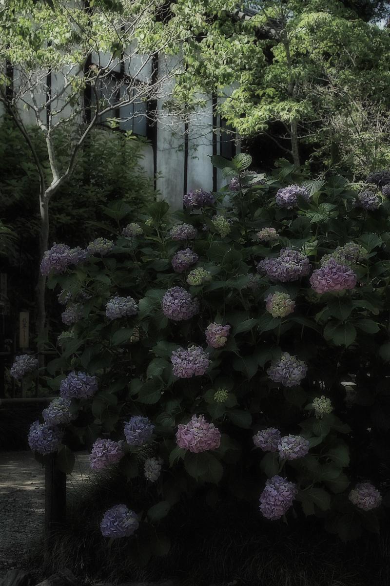 奈良 矢田寺 <紫陽花>  3_f0021869_14405196.jpg