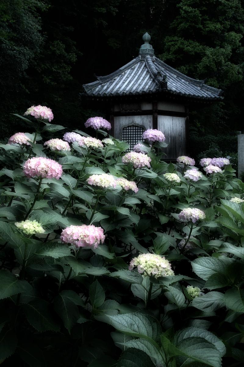 奈良 矢田寺 <紫陽花>  3_f0021869_14412391.jpg