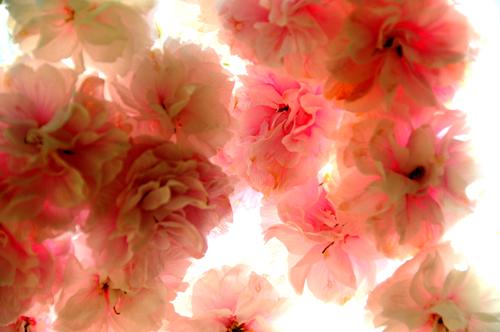 桜。_b0133890_1311167.jpg