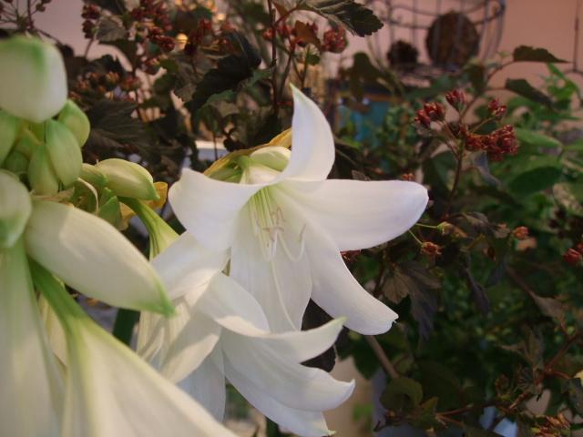 オークリーフ(白花ネムの木)_f0049672_14384717.jpg