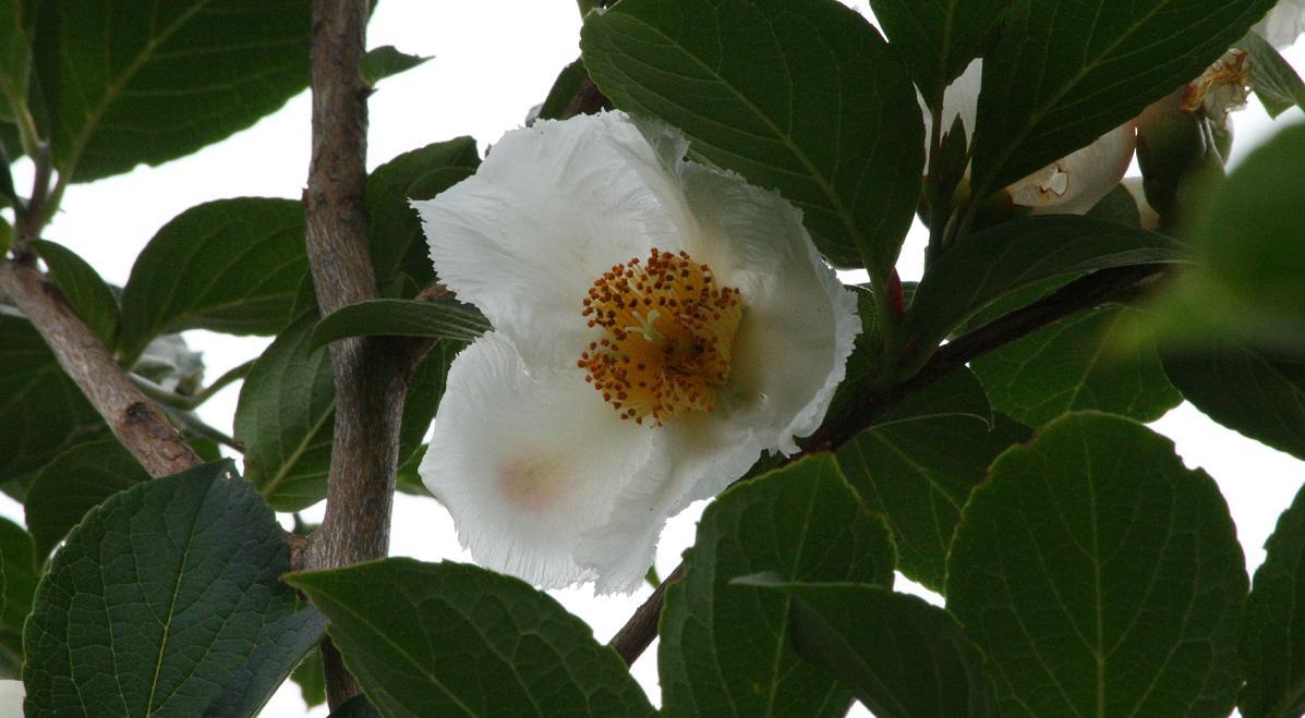 白い花達 ~シャラ 半化粧 アナベル~_a0107574_17441989.jpg