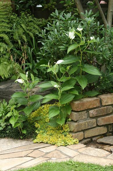 白い花達 ~シャラ 半化粧 アナベル~_a0107574_17443988.jpg