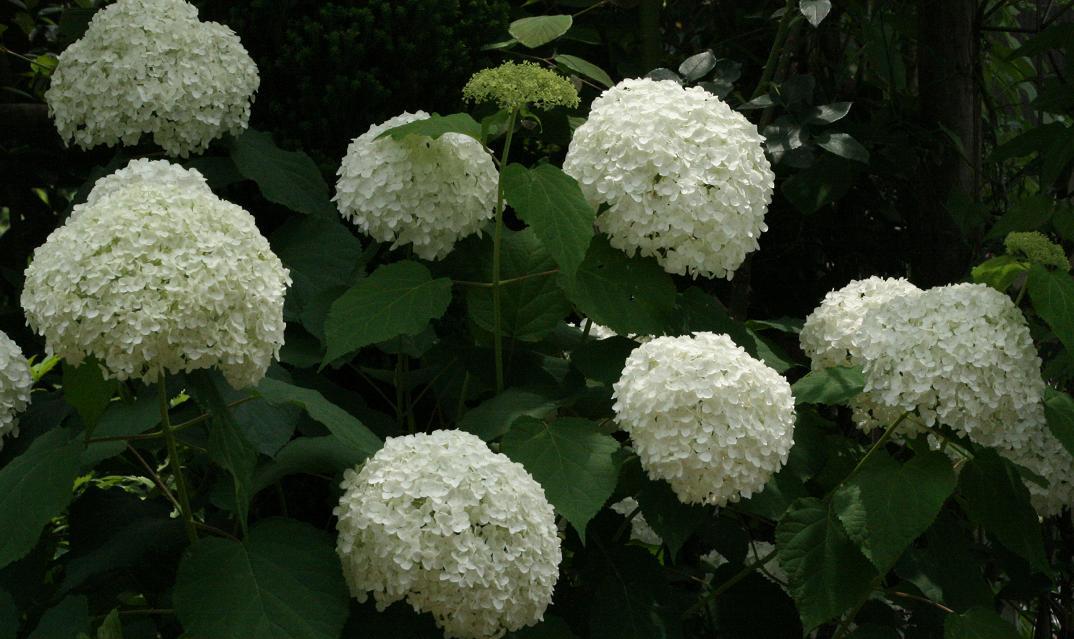 白い花達 ~シャラ 半化粧 アナベル~_a0107574_17445247.jpg