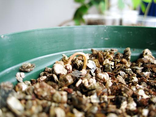 トゲバンレイシの発芽, germination of a soursop seed