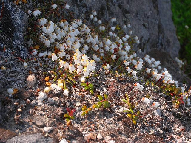 6月18日、樽前山-イワヒゲの写真をメインに-_f0138096_1862952.jpg