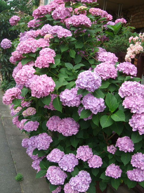 オークリーフ(6月の庭)_f0049672_16511377.jpg