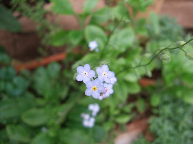 オークリーフ(6月の庭)_f0049672_16553142.jpg