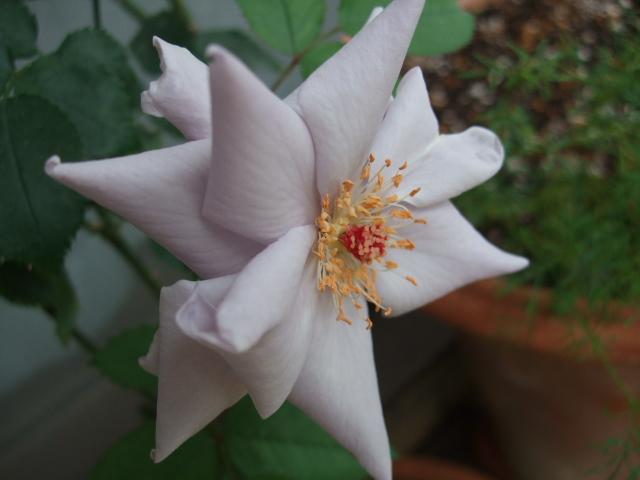 オークリーフ(6月の庭)_f0049672_1709100.jpg