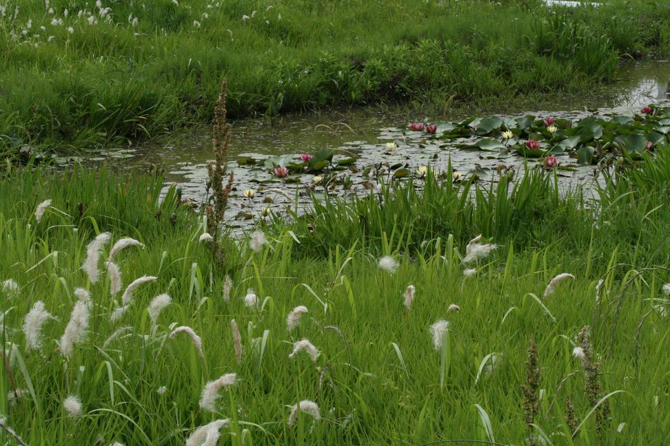泥の中から 蓮の花が_a0107574_23423571.jpg