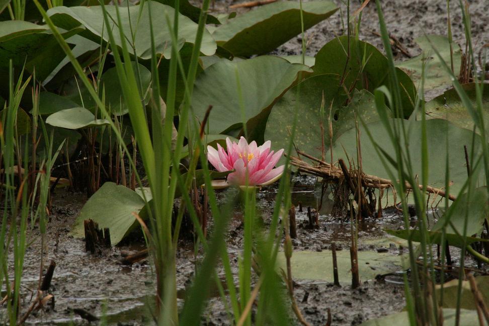 泥の中から 蓮の花が_a0107574_23424476.jpg