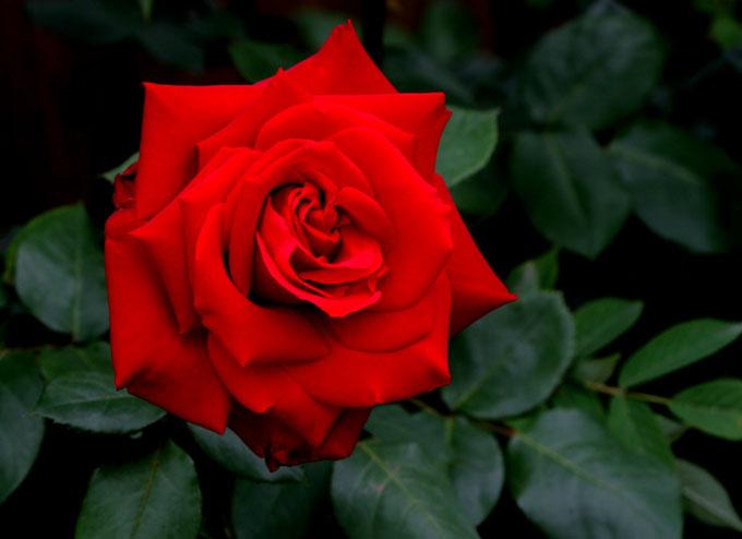 赤い薔薇_f0150893_2038553.jpg