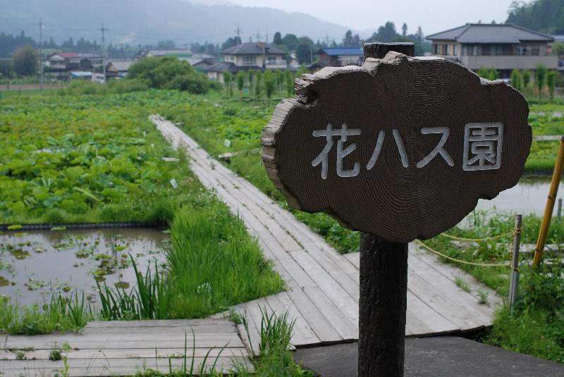 荒川日野の花ハス園(その1)_e0124594_22463662.jpg