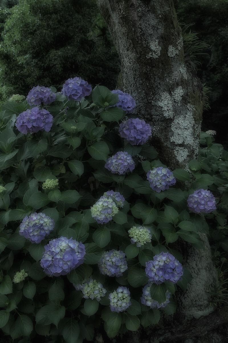 奈良 矢田寺 <紫陽花>  4_f0021869_923447.jpg