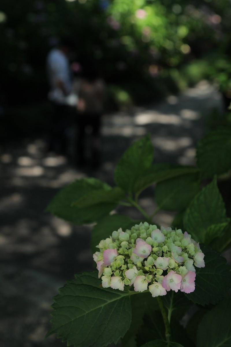 奈良 矢田寺 <紫陽花>  4_f0021869_934941.jpg