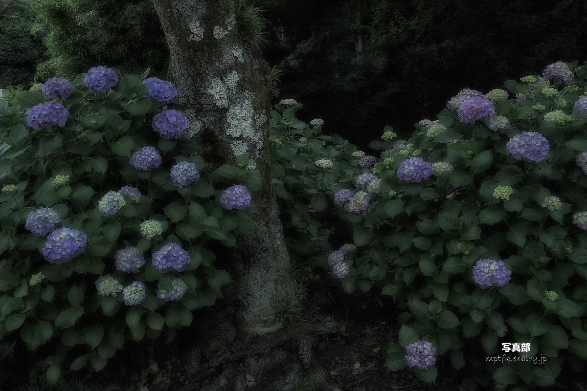 奈良 矢田寺 <紫陽花>  4_f0021869_949492.jpg