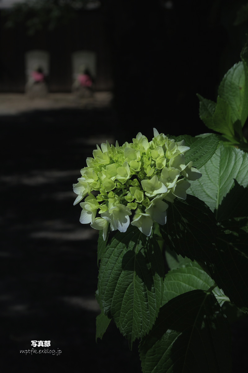 奈良 矢田寺 <紫陽花>  4_f0021869_950136.jpg