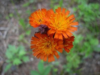 夏至の日、青葉公園8Kmコースの植物_f0138096_21243284.jpg