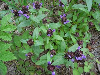 夏至の日、青葉公園8Kmコースの植物_f0138096_21251838.jpg