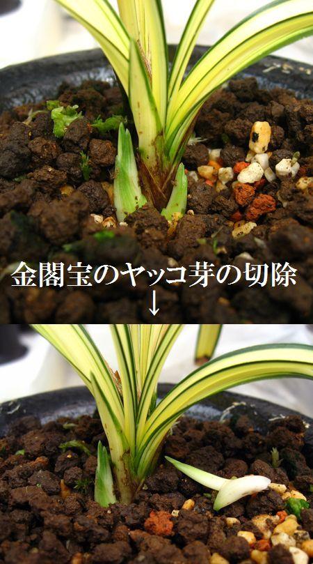 ◆日本春蘭「金閣宝」の芽欠き、。        No.301_d0103457_013955.jpg