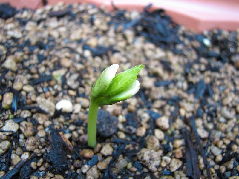 ゴーヤが種から芽が出た!_d0036883_1137357.jpg