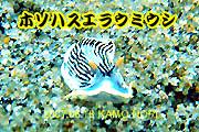珍しいタテジマウミウシ亜目・科(^^♪_b0044726_16402544.jpg